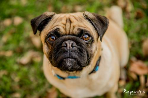 Available Pugs Adoption Profiles Pug Rescue And Adoption Victoria