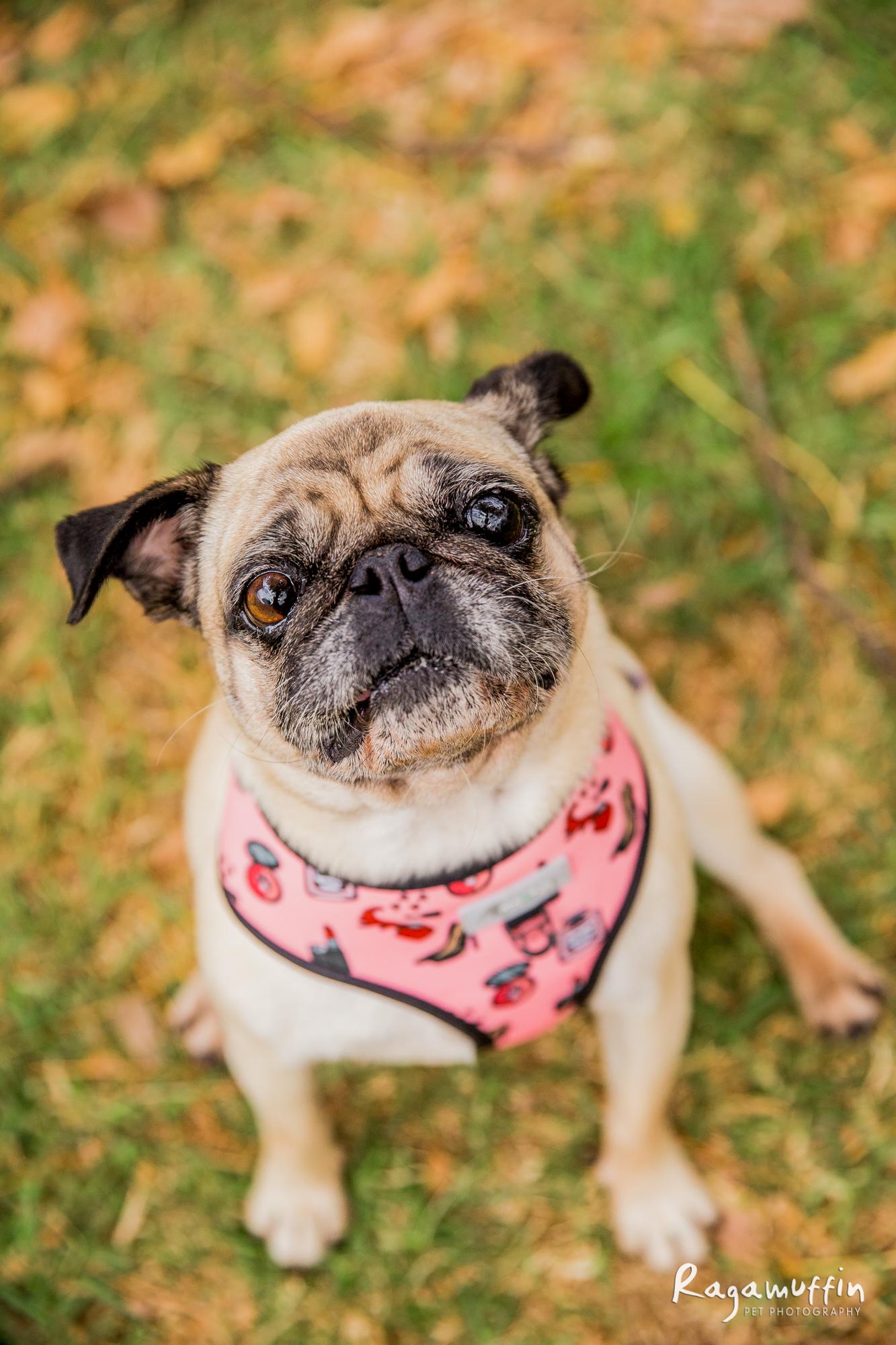 pug-rescue_04-18(0005)-web