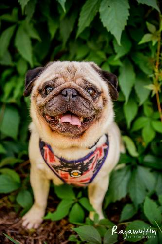 Foster Adoption Victoria Pug Rescue Pictures Wwwpicturesbosscom