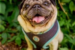 pug-rescue(036)-11_17_ragamuffin-web