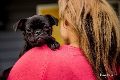 Available Pugs Adoption Profiles « Pug Rescue and Adoption Victoria