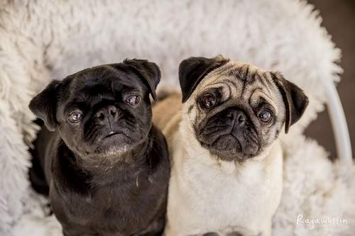 Pug For Sale Victoria