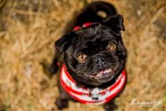 pug-rescue(017)-03_18_ragamuffin-web